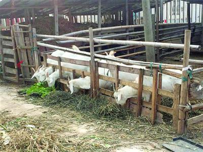 崇明农户散养白山羊今年价格上涨 有农户家17只羊早被预订一空