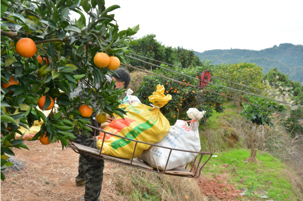 沈从文笔下的麻阳冰糖橙  苏宁一口气从贫困户手里收购10万个