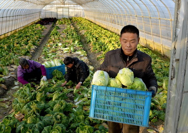 抢收蔬菜确保市场供应