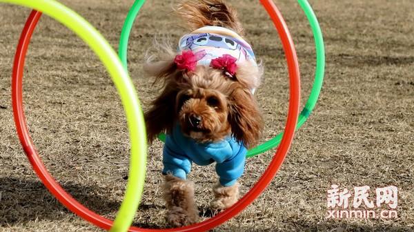 宠物犬展才艺迎新年