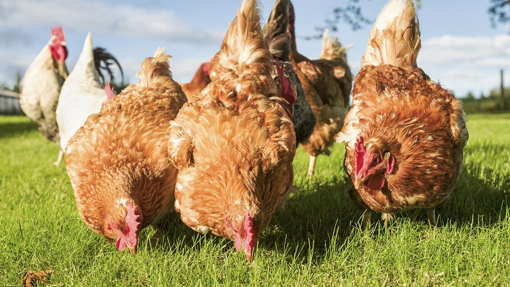 想吃鸡?请收下这份466家冷鲜禽供应点清单!