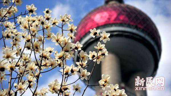 白玉兰绽放迎春