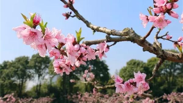 金山田野百花节本周六开幕啦!踏青攻略看过来