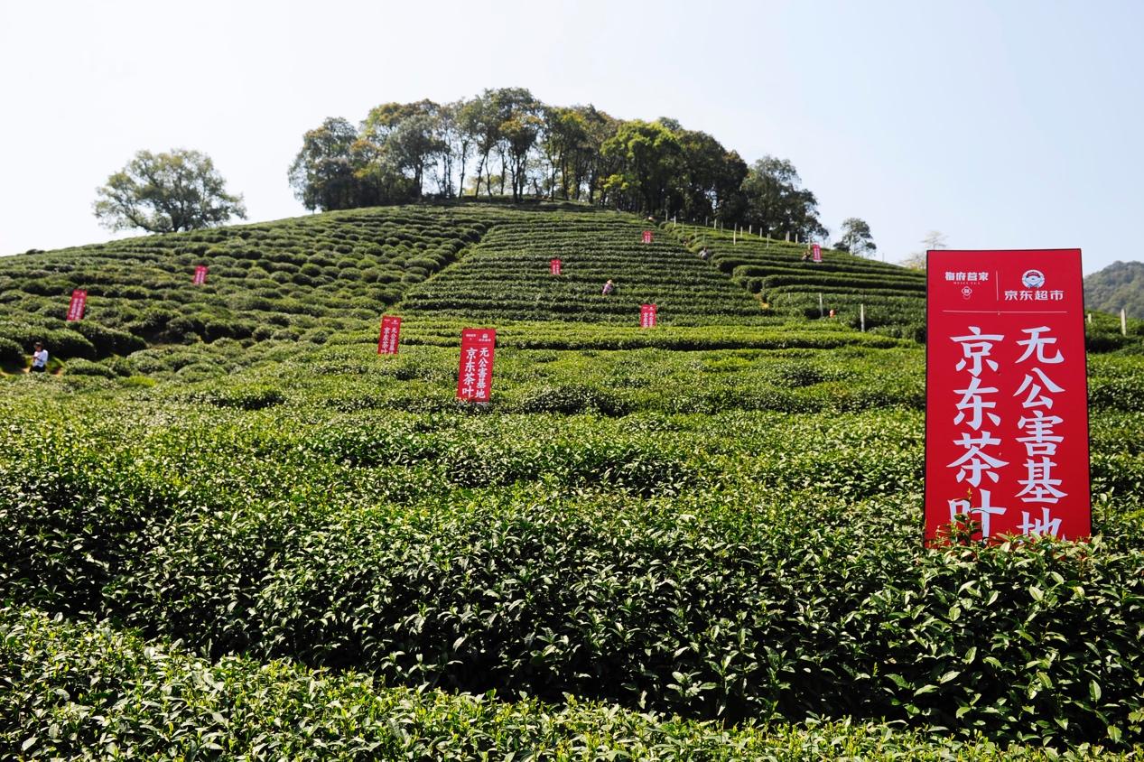 明前西湖龙井今日开茶 京东包销七成头茬茶与四大茶商签约直供