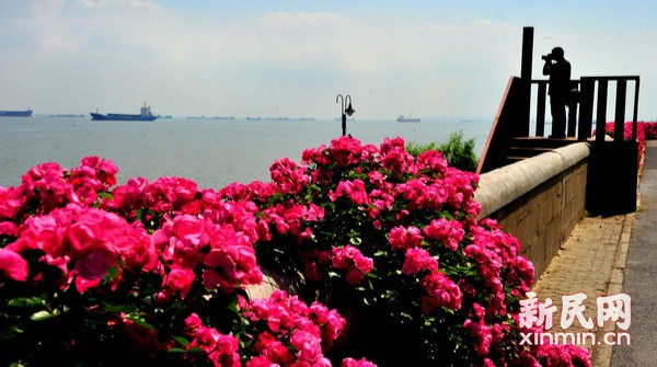滨江岸线醉美月季花墙