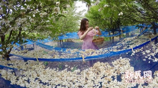 崇明茉莉花科创展示基地游园赏花主题活动举行