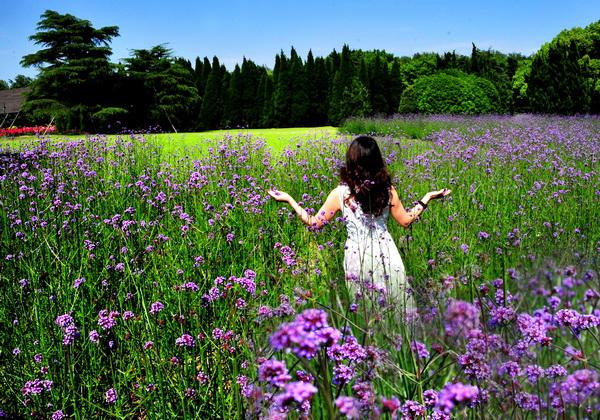 紫色花海迎客来