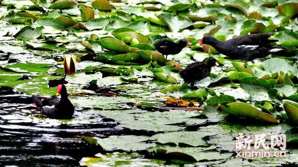 黑水鸡一家落户公园水域