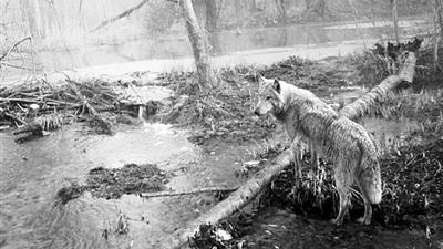 一只狼首次离开切尔诺贝利,科学家紧密跟踪