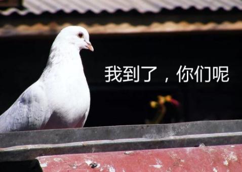 上海信鸽大赛有人作弊!鸽子直接坐高铁,事后惨遭灭口!