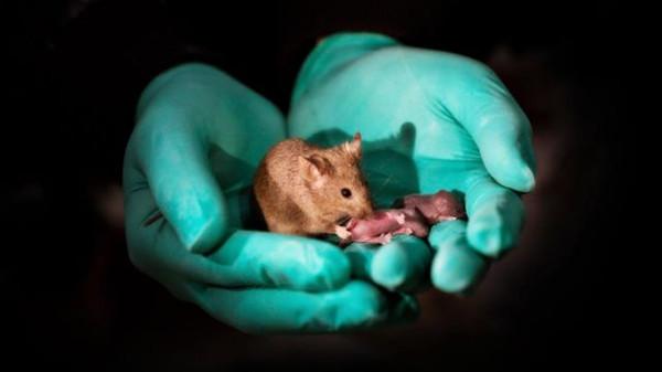 中国科学家成功让同性小鼠生育下一代