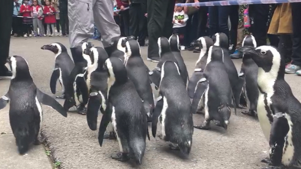上海时刻·见所未见|听得懂上海话 会因为单身而神伤 动物园的企鹅都成精了!