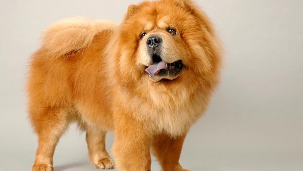 英国一松狮犬咬警察或要坐牢9个月 松狮主人已聘请律师