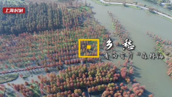 """上海时刻·乡愁   快看,青西这片60亩""""水上森林"""",美到没朋友!"""