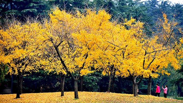 天渐凉 叶更黄 满城银杏舞蹁跹