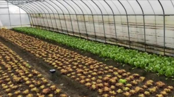 视频 | 雨雪天来临 沪郊农民为农作物做防冻保暖