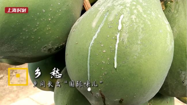 上海时刻·乡愁|泰皇大虾、加塞尔木瓜、法国百香果,来金山吃全球!