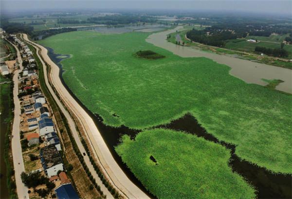 这是河南省民权县任庄村内的荷花生态园(7月7日无人机拍摄).