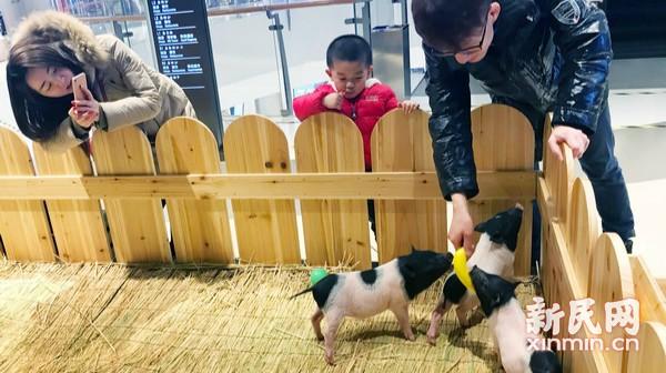 猪年唱主角 小猪亮相商场