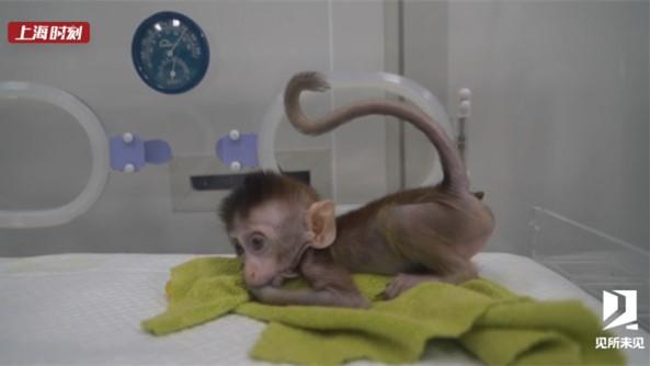 见所未见 世界首批疾病克隆猴诞生在中国