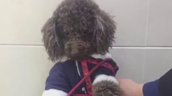 视频 | 只因你太萌!宠物犬拴在早餐店门口 转眼不见了