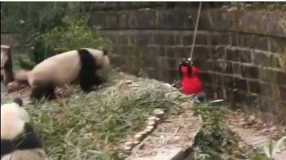 女童坠入熊猫饲养池!危险时刻,保安这一举动太关键了