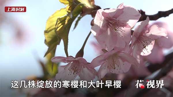 花·视界|春天花会开 在樱花林里自由自在