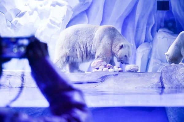"""海洋动物也过节 北极熊吃上""""花式元宵"""""""