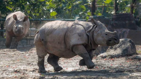 视频 | 两只亚洲独角犀牛在沪与游客见面 体重超过1吨每天吃120斤食物