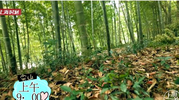 视频 | 佘山兰笋正当时 自挖自烹野趣浓