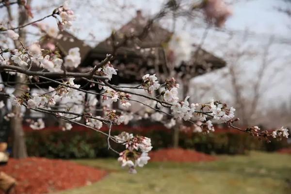 樱花本是一道靓丽的风景线