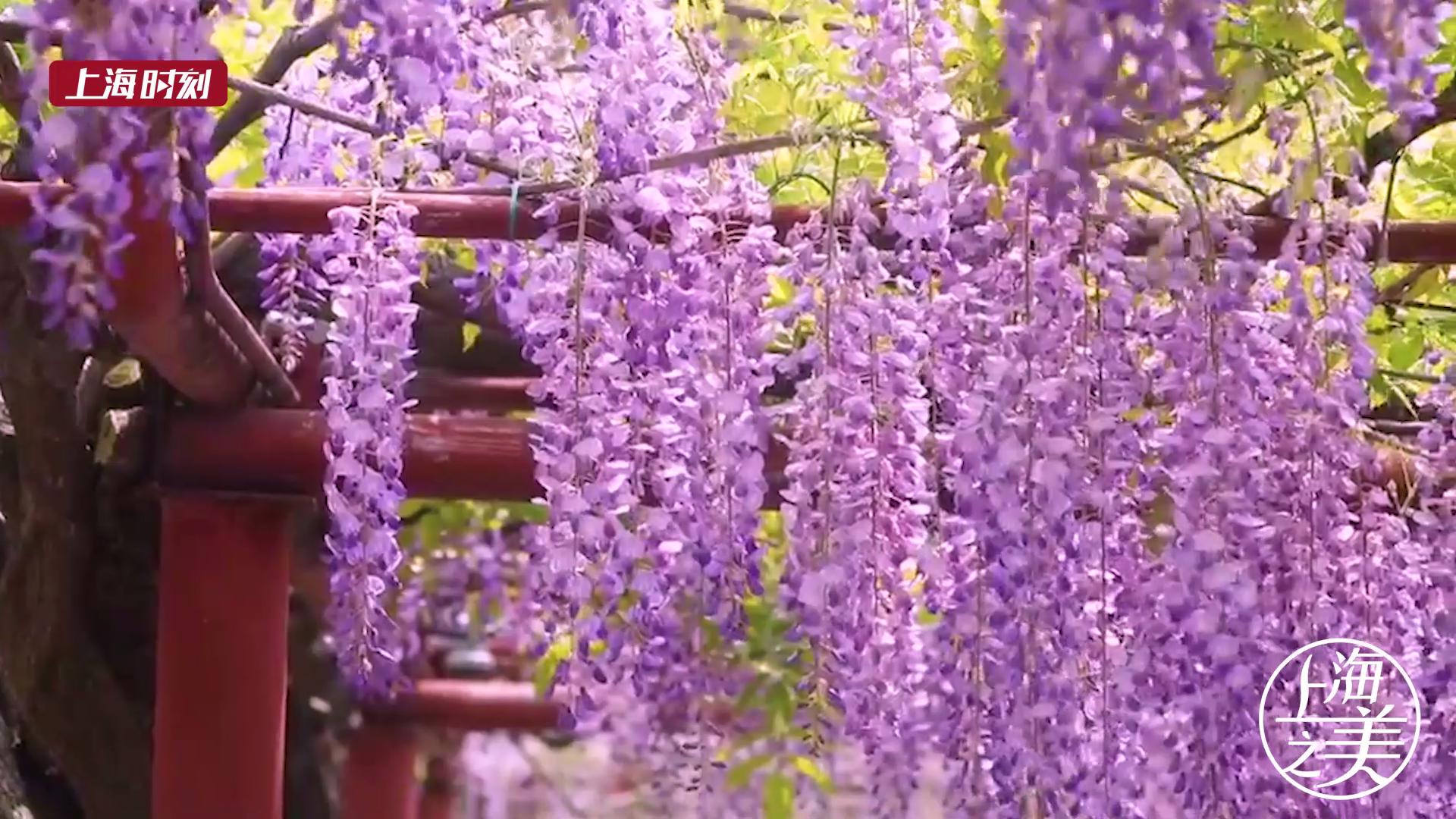视频 | 嘉定紫藤花开 去拍美美的照片吧!