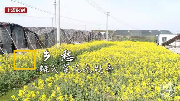 上海时刻·乡愁|蝶入菜花无处寻,金山这片花海将大地铺金