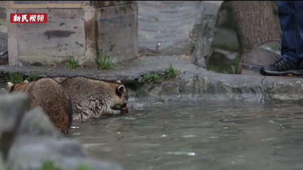 视频 | 动物园里夏日新食谱:干脆面绝配小龙虾