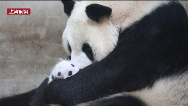 视频 | 超萌超可爱!快来给大熊猫公主宝宝起名字吧