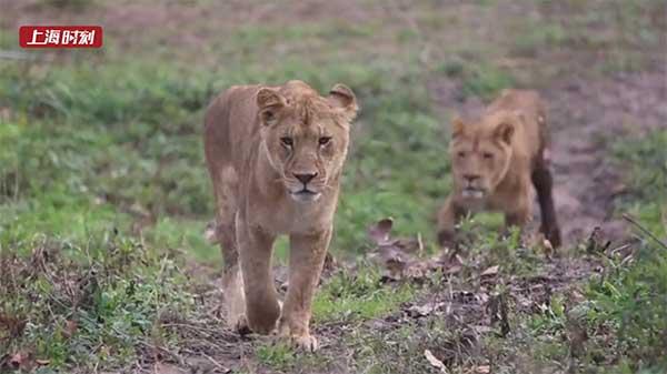 视频 | 想看真实的狮子王?来野生动物园吧