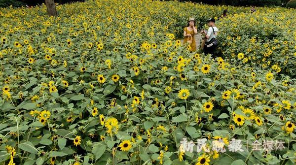 1600平方米向日葵绽放南园滨江绿地