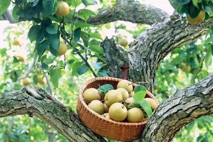 这才是上海最最地道的本地水果!没吃过枉为上海人!