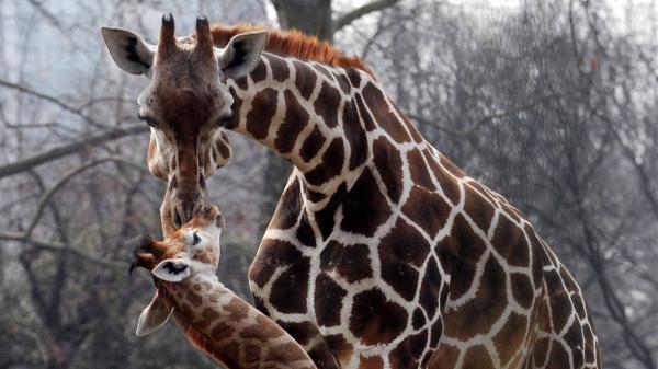 """30年内数量锐减40% 长颈鹿面临""""无声灭绝""""威胁"""