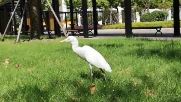 新民拍客 | 霸屏朋友圈!上海一高校惊现长腿白鸟,形似白鹭