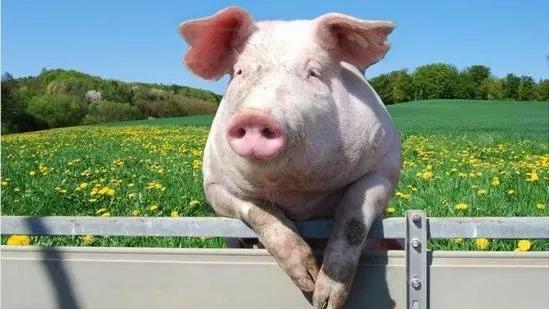 """不要小看""""二师兄""""!告诉你今年养猪、养鸡到底有多赚钱!"""