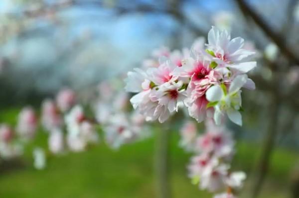 美呆啦!上海这些公园樱花再度绽放!只开一周,赶紧去看!