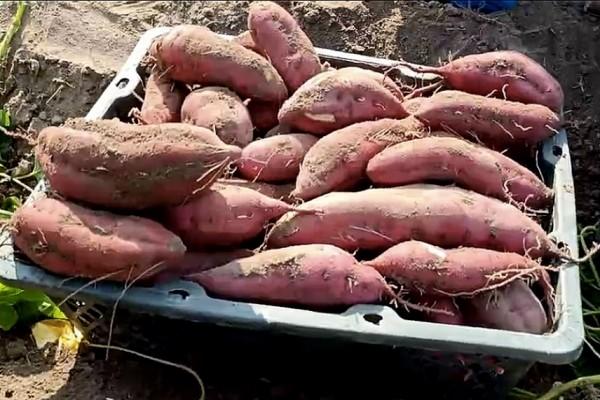 """拼多多""""抗疫助农""""上线:农户两小时卖一万斤洋葱"""