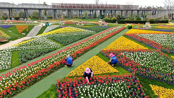 视频 | 上海浦江郊野公园鲜花即将进入最佳观赏期 预计三月下旬开放