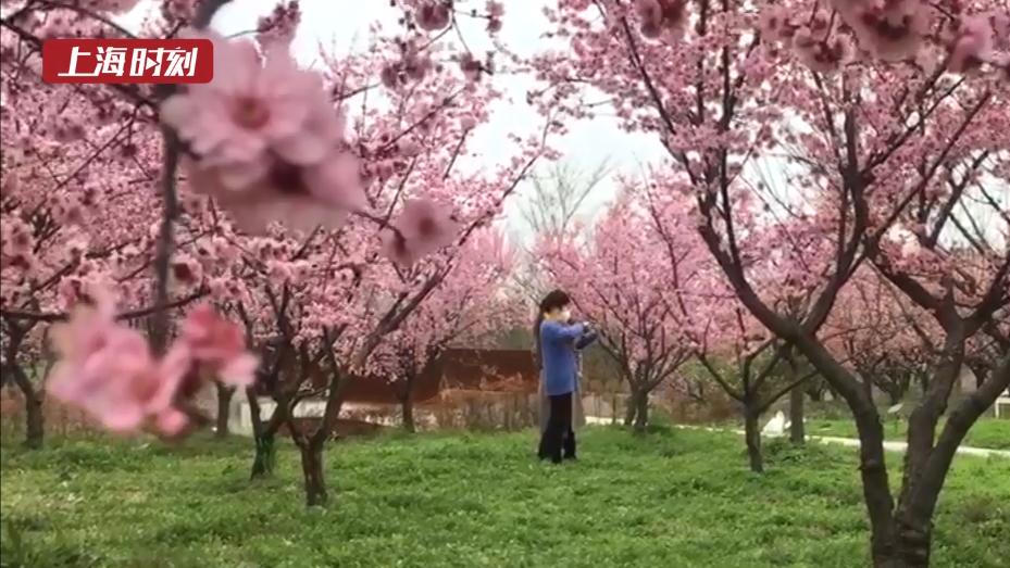 视频 | 金山:逛古镇、游沙滩 市民游客赴春日之约