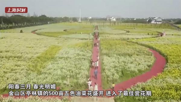 视频 | 金山百亩油菜花盛开 游人踏春来
