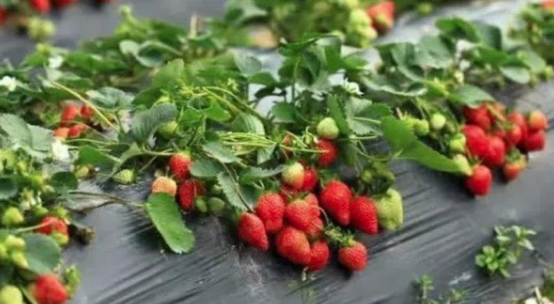 """莓香飘上""""云""""精彩不减分 你们挂念的上海白鹤草莓文化节来啦!"""