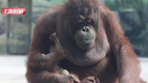 视频 | 上海野生动物园首只红猩猩宝宝一周岁啦 快来为他选名字吧