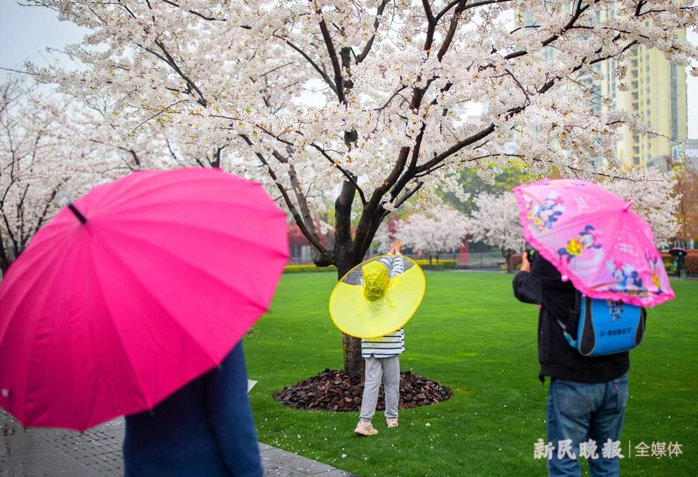 最美樱花周 在满树繁花下细品春光