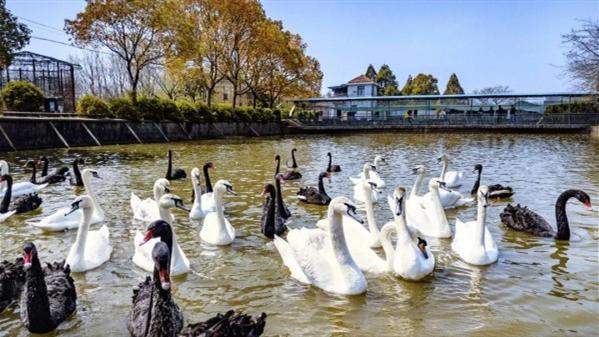 探访崇明最大珍禽养殖基地